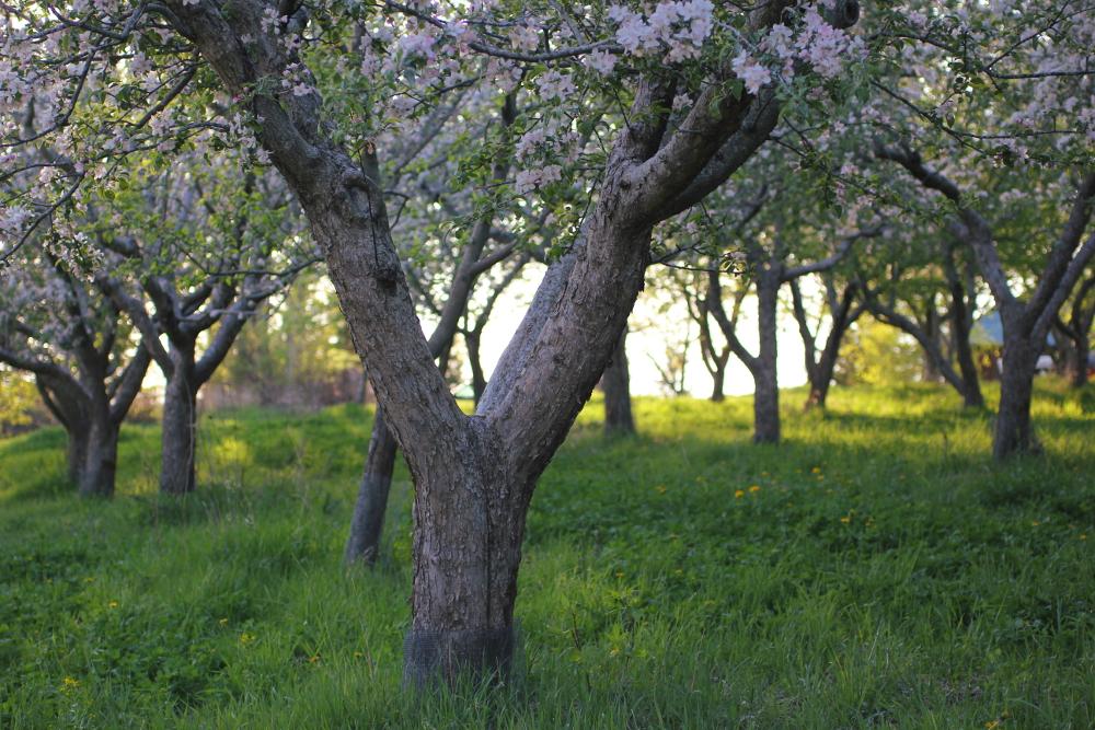 AppleBlossomsTippyTop