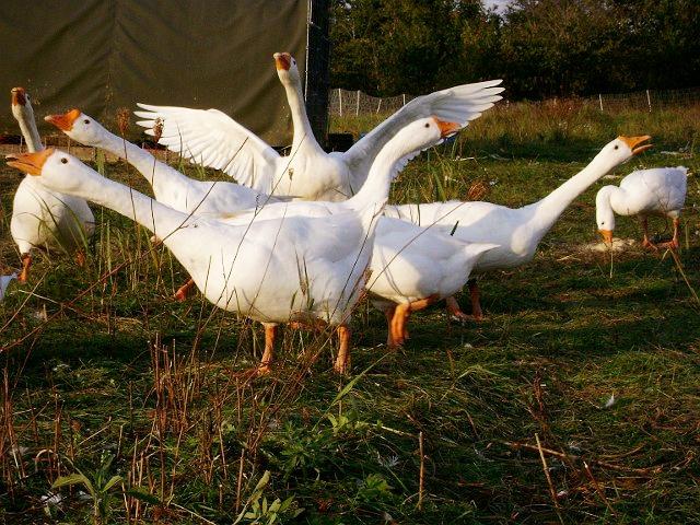 King S Hill Farm Goose Eggs Driftless Appetite
